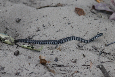 October 7, 2011 (Indiana Dunes State Park [Trail 8 from Wilson Shelter] / Porter County, Indiana) - Small 1' [unidentified species] snake