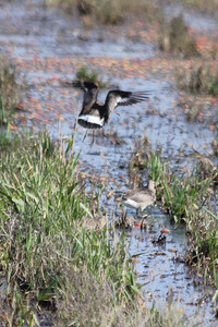 October 9, 2011 (Comber Sideroad [flooded tomato field with rotting tomatos] / Essex County, Ontario) - Hudsonian Godwits with rotting tomatoes in background