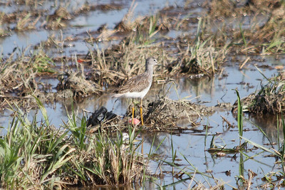October 9, 2011 (Comber Sideroad [flooded tomato field with rotting tomatos] / Essex County, Ontario) - Greater Yellowlegs