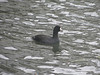 October 14, 2011 (Cleveland Harbor [behind Rock & Roll Hall of Fame] / Cleveland, Cuyahoga County, Ohio) -- American Coot