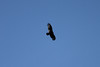 October 8, 2011 (Indiana Dunes National Lakeshore [Great Marsh - Beverly Drive] / Porter County, Indiana) - Turkey Vulture over Great Marsh