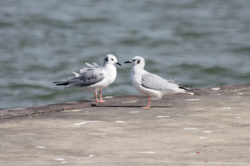 October 11, 2011 (Metzger Marsh [fishing pier] / Lucas County, Ohio) - two Bonaparte's Gulls, bill to bill on pier