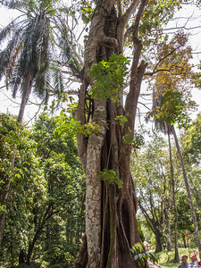 Tree with strangling fig vine