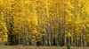 Yellow aspens.