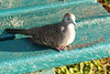 A  Zebra Dove on park bench
