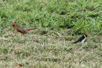 October 17, 2013 - (Whittington Beach County Park / Honu'apo Bay, Hawaii County, Hawaii) --  Comparison of female Northern Cardinal & smaller male Yellow-billed Cardinal