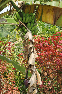 "October 17, 2013 - (Greenwell Kona Coffee Farms / Kealakekua, Hawaii County, Hawaii) --  Banana tree on the ""Greenwell"" Kona Coffee Farms tour"