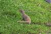 October 17, 2013 - (Whittington Beach County Park / Honu'apo Bay, Hawaii County, Hawaii) --  Mongoose