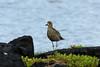 October 17, 2013 - (Whittington Beach County Park / Honu'apo Bay, Hawaii County, Hawaii) --  Pacific Golden Plover