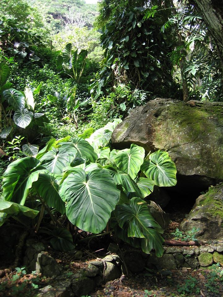 Big leaves in Waimea Valley