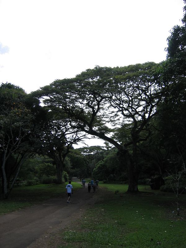Tree in Waimea Valley