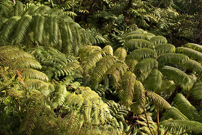 Day Five - Jungle ferns on way to lava tube in Volcanoes National Park.