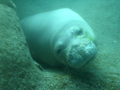August 15, 2006  Maui - Pride of Maui - Molokini Snorkel. Hawaian Monk Seal.  Awwww.