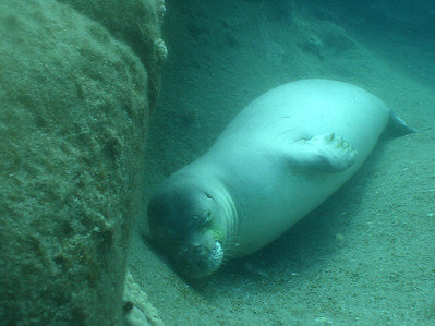 August 15, 2006  Maui - Pride of Maui - Molokini Snorkel. Hawaian Monk Seal.  Very rare.  The guides only see one about every 6 months.  Only about 1200 exist (per tour guide).