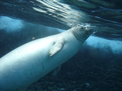 August 15, 2006  Maui - Pride of Maui - Molokini Snorkel. Hawaian Monk Seal