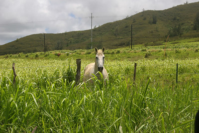 "8-17-06 Kauai - Yup, it's a horse - We were looking for the unmarked zipline co.  The lady at the post office said that sometimes a man stands in a pasture holding a sign.  When they finally answered the phone, we got directions to ""mile marker #3"""