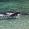 Dolphins at Hilton Waikoloa