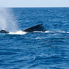 Whale watching along Kohala coast