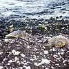 <center>Honu sleeping on the beach..early morning</center>
