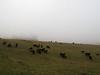 Moo?  Moo moo.  Scottish Highland cows!  Not really. ;)