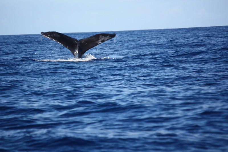 #2:  The whale dives, about 50 yards from the boat.