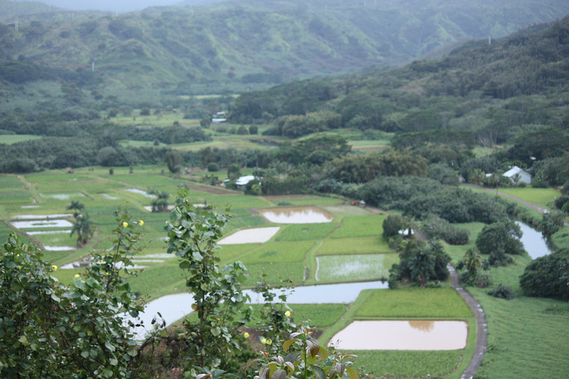 Taro Fields seen from the Hanelei Lookout.