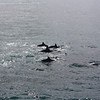 Spinner dolphins, on their way over to play in the wake of the catamaran.