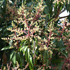 Mike's mango tree. - has lots of flowers, so he expects a bumper crop of mangoes this season.