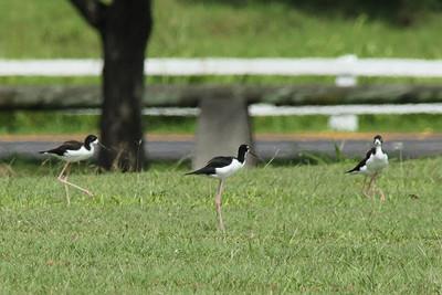 October 12, 2013 -- (Kualoa Regional Park, Waikane, Honolulu County, Hawaii) -- Hawaiian Black-necked Stilt