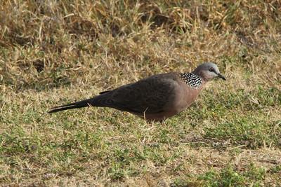 October 12, 2013 - (Makapu'u Beach, Honolulu County, Waimanalo, Hawaii) -- Spotted Dove