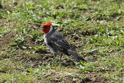 "October 12, 2013 -- (Kualoa Regional Park, Waikane, Honolulu County, Hawaii) -- ""Brazilian"" Red-crested Cardinal"
