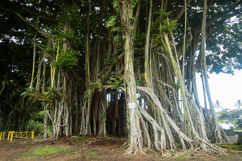 Baynyan Tree