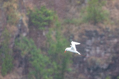 Red-tailed Tropicbird in the rain