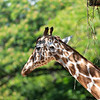 Giraffe at the Honolulu Zoo