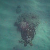 Sea Turtle off Waikiki Beach