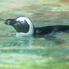 Penguin at the Honolulu Zoo