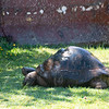 tortoise enjoying sprinkler