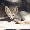 Fennec Fox at the Honolulu Zoo