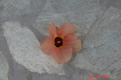 This flower fell frm a tree as we were walking on our first day in Waikiki.  What a nice greeting!