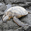 9/13 - We sure know how this sea turtle felt after getting up at 4:30am to catch our plane today.