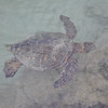 9/13 - Sea turtles sure are graceful in the water.