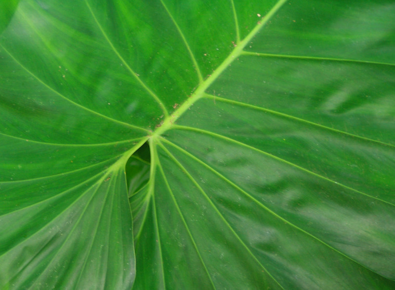 Close up of large leaf at the park.