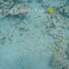 GoPro 4-20-15 Teardrop Butterfly Fish