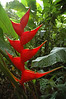 Heliconia Ortotricha<br /> <br /> Heliconias are an important food source for forest hummingbirds, especially the hermits, some of which, such as the Rufous-breasted Hermit, also use the plant for nesting. The Honduran white bat also lives in tents it makes from the plant's leaves