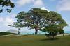 View of Kailua Beach and Monkey Pod Tree