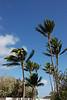 Coconut Tree Line