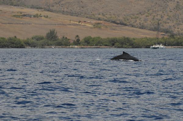Hawaii - Whale watching
