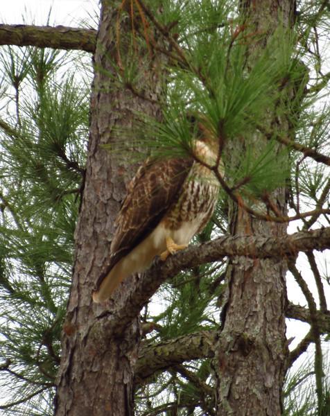 Bird of prey hiding in tree, seen en route to the swamp.