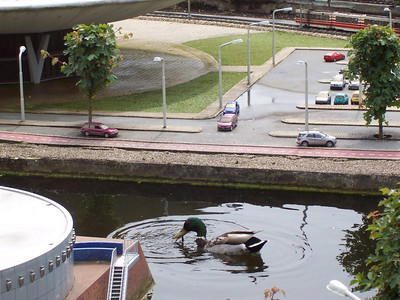 The ducks in Holland are very big as you can see.