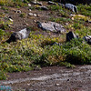 it is a marrmot not a rock